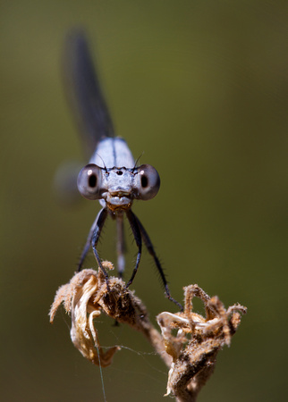 Damselfly Baby Blues