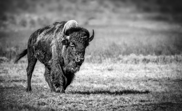 Bison on the Prairie
